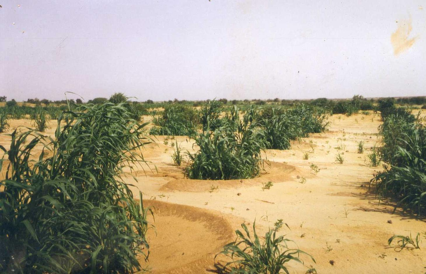 Semi-circular bunds with millet growing in them