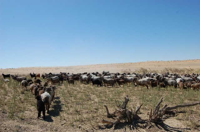 Pasture rotation in the desert areas of Uzbekistan (CACILM)