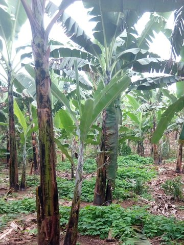 Lab lab inter-crop for improvement of soil fertility for banana production