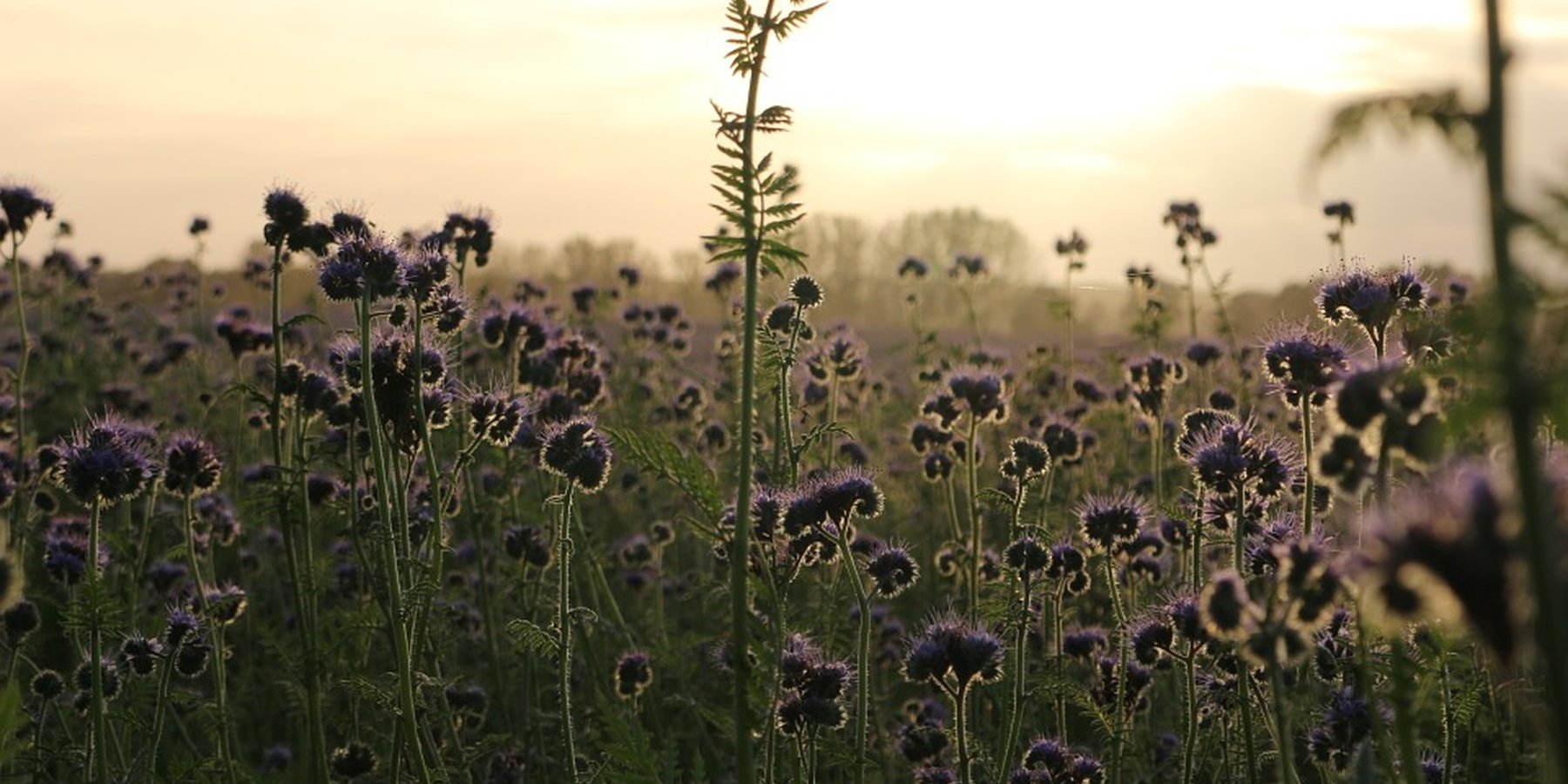 Phacelia tanacetifolia is a species of phacelia known by the common names lacy phacelia, blue tansy or purple tansy.