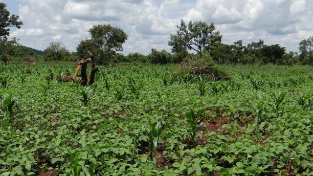Intercropping Soya and Maize