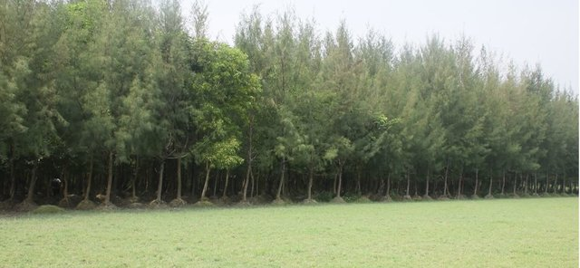 Mound plantation in coastal area with non-mangrove plant species for land stabilization