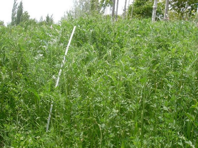 Perennial Herbaceous Fodder Plants for Intact Canopy Cover