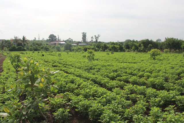 Agroforestry-intercropping of peanut  between cashew nut trees in upland areas