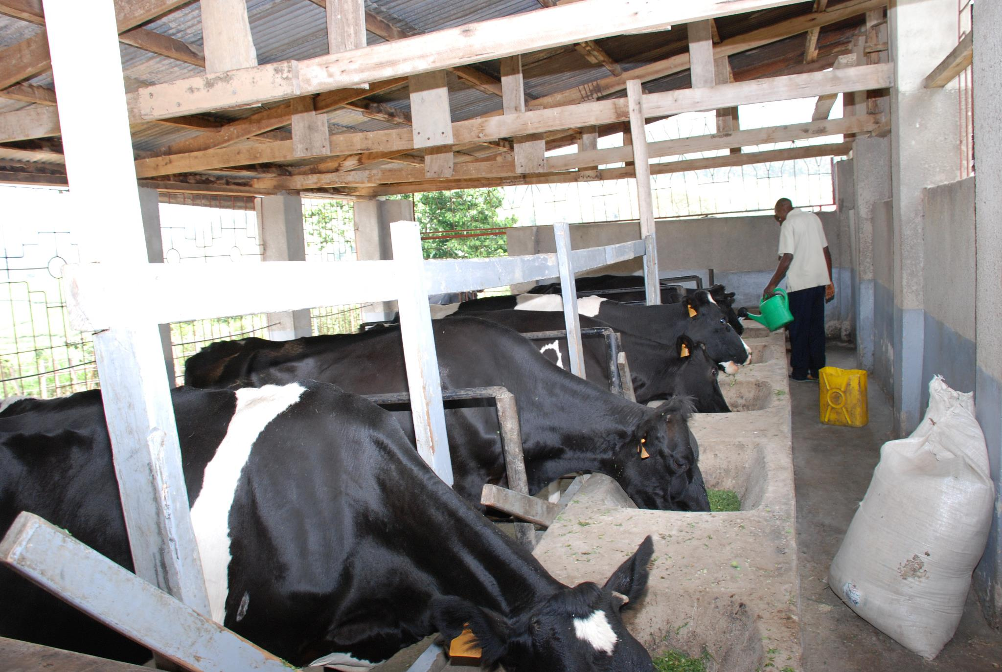 Dairy cattle feeding on fodder in the parlour