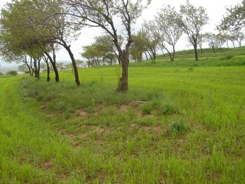 Intercropping of wheat in an existing apricot orchard